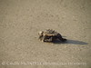 Baby loggerhead sea turtle, Jekyll Island, GA (2)