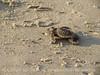 Baby loggerhead sea turtle, Jekyll Island, GA (1)