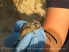 Baby loggerhead sea turtle rescued from nest, Jekyll Is GA (2)
