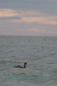 Pelican on Swell-7391