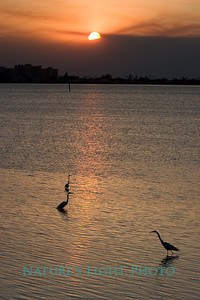 Egrets, Sunset Point