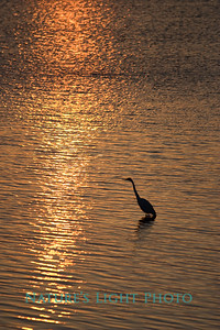 Egret, Sunset Point