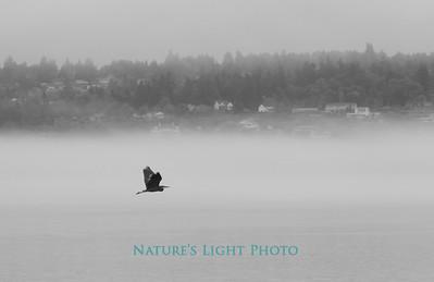 Blue Heron an Fog