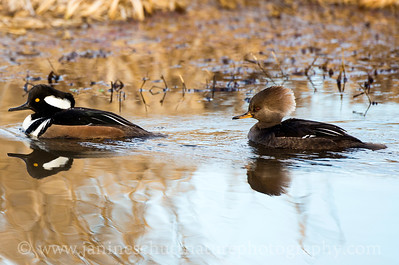 Hooded Merganser pair at the River 'S' Unit of the Ridgefield National Wildlife Refuge near Ridgefield, Washington.