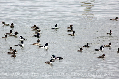 Barrow's Goldeneye flock playing Where's Waldo with a Surf Scoter.  Photo taken in Seabeck, Washington.