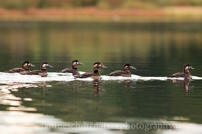 Juvenile Surf Scoters.  Photo taken while kayaking on Wildcat Lake near Bremerton, Washington.