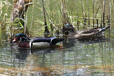 Wood Duck pair at Nisqually National Wildlife Refuge near Olympia,  Washington.
