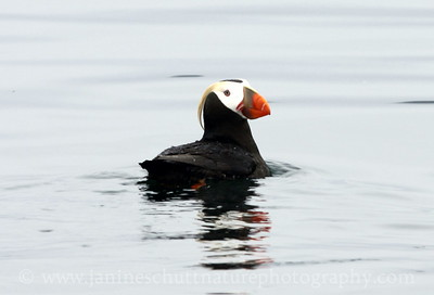 Tufted Puffin near Protection Island National Wildlife Refuge in Washington.