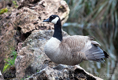 Canada Goose resting on a log at Nisqually National Wildlife Refuge near Olympia, Washington.
