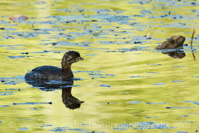 Pied-billed Grebe in the beaver pond by the McLane Creek Nature Trail, near Olympia, Washington.