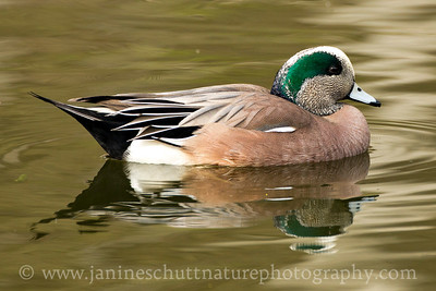 Male American Wigeon at Titlow Park in Tacoma, Washington.