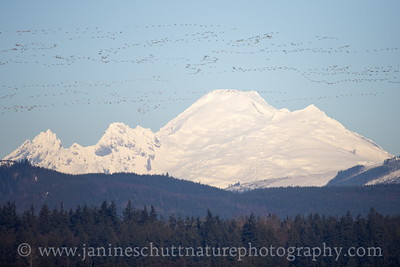 Massive flock of Snow Geese flying past Mount Baker in Stanwood, Washington.