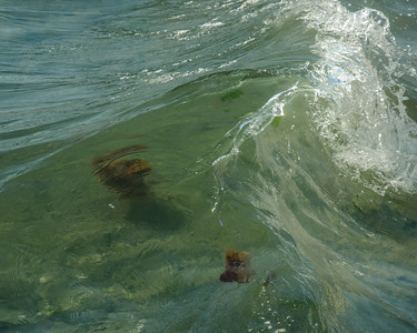 Lion Mane Jellyfish invasion at Ogden Point Breakwater