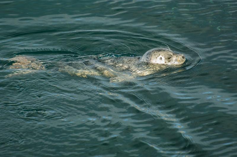 Harbour Seal - fishing