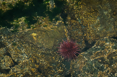 Sea Urchin at Ogden Point Breakwater