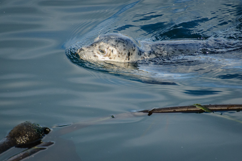Young Harbour Seal