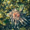 Sunflouwer Starfish off Ogden Point Breakwater