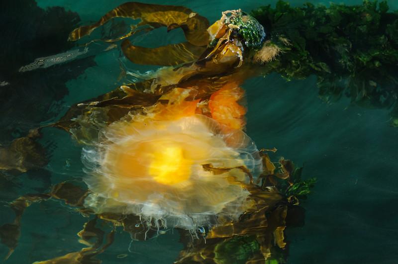 Fried Egg Jellyfish  Ogden Point Breakwater
