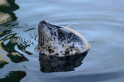 Harbour Seal at Fisherman's Wharf