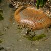 Anenomes - low tide at Cordova Bay