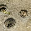 Gaper Clam holes - low tide at Cordova Bay