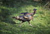 Wild turkey in afternoon sun
