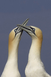 Affectionate Gannets