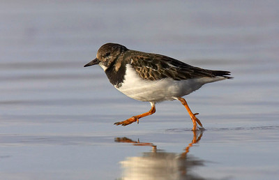 Turnstone running