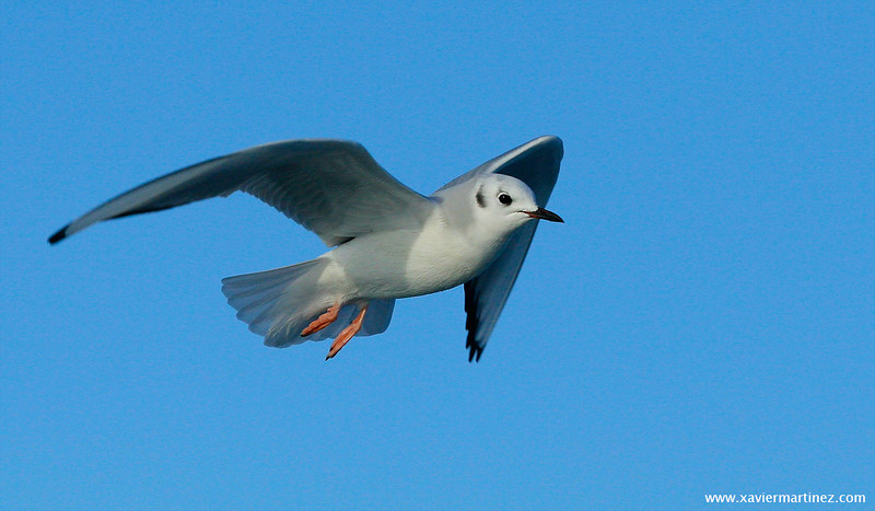 "<center>Chroicocephalus philadelphia <font size=""1"">Gaviota de Bonaparte Bonaparte's Gull  <i>clic en la foto para ampliar · click in the image to enlarge"