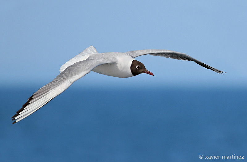 Larus ridibundus · Gaviota Reidora · Black-headed Gull