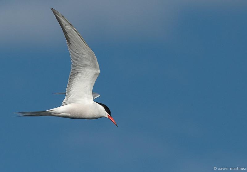 "<center>Sterna hirundo <font size=""1"">Charrán Común Common Tern  <i>clic en la foto para ampliar · click in the image to enlarge"