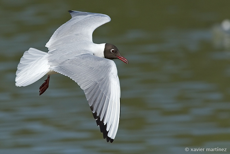 Larus ridibundus Gaviota Reidora Black-headed Gull  clic en la foto para ampliar · click in the image to enlarge