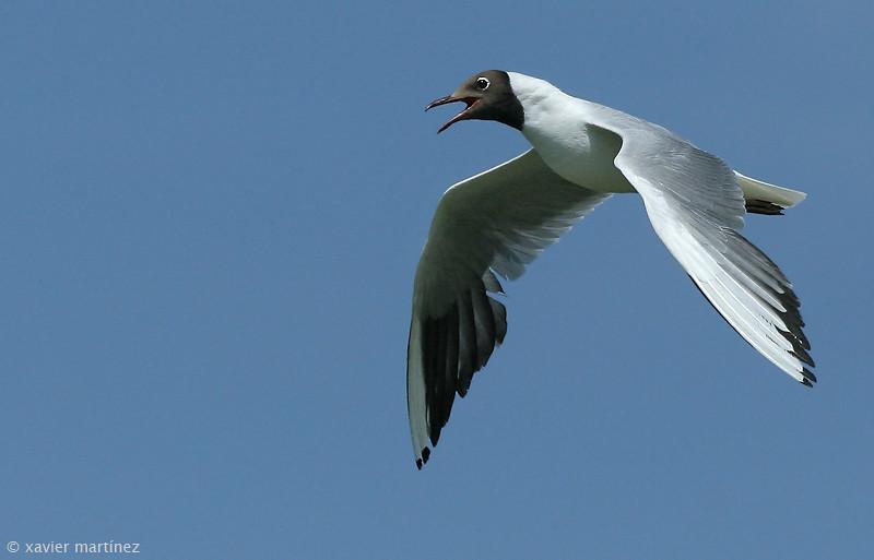 "<center>Larus melanocephalus <font size=""1"">Gaviota Cabecinegra Mediterranean Gull  <i>clic en la foto para ampliar · click in the image to enlarge"