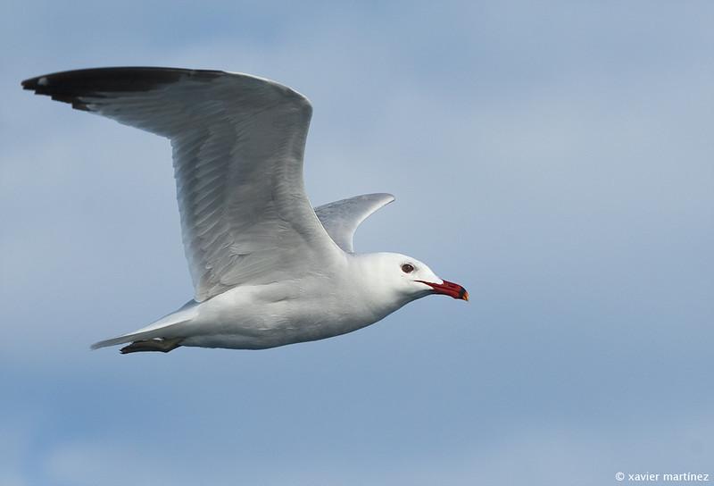 "<center>Larus audouinii <font size=""1"">Gaviota de Audouin Audouin's Gull  <i>clic en la foto para ampliar · click in the image to enlarge"