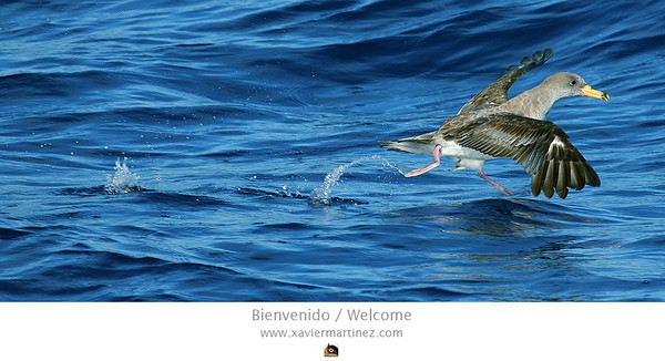 Calonectris diomedea Pardela Cenicienta Cory's Shearwater  clic en la foto para ampliar · click in the image to enlarge