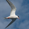 "<center>Sterna hirundo <font size=""1"">Charrán Común Common Tern  <i>clic en la foto para ampliar · click in the image to enlarge"