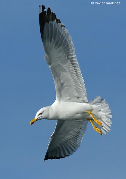 "<center>Larus cachinnans <font size=""1"">Gaviota Patiamarilla Yellow-legged Gull  <i>clic en la foto para ampliar · click in the image to enlarge"