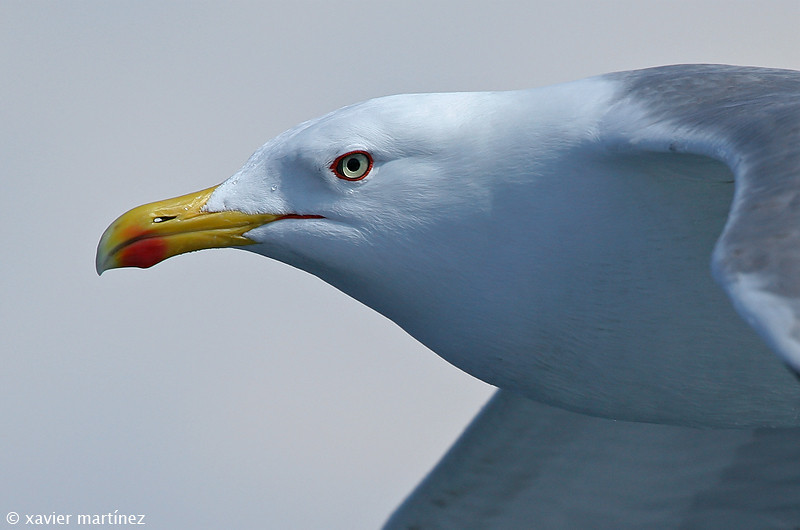 "<center>Larus cachinnans <font size=""1"">Gaviota Patiamarilla Yellow-legged Gull  <i>clic en la foto para ampliar · click in the image to enlarge"
