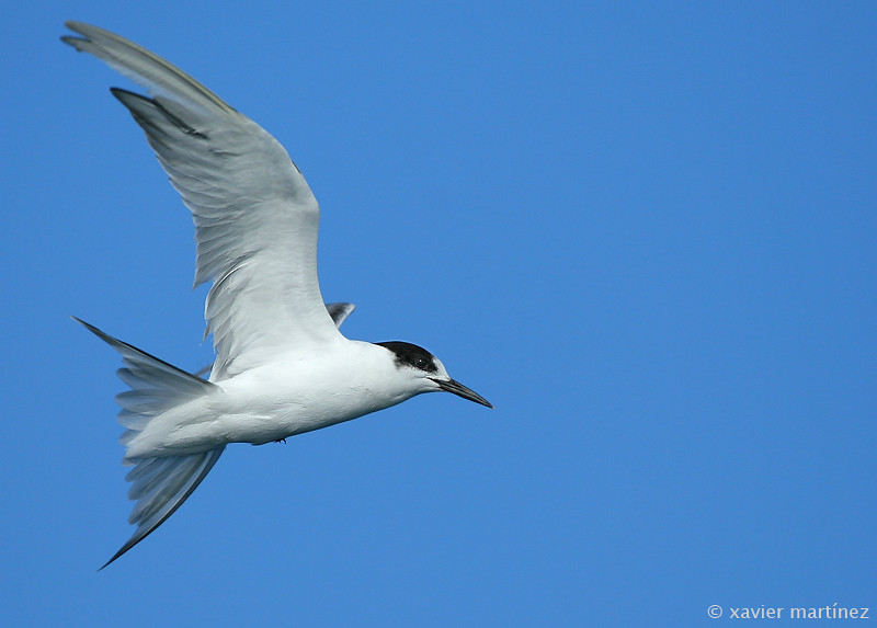 "<center>Sterna sandvicensis <font size=""1"">Charrán Patinegro Sandwich Tern  <i>clic en la foto para ampliar · click in the image to enlarge"