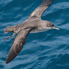"<center>Puffinus mauretanicus <font size=""1"">Pardela Balear Balearic Shearwater  <i>clic en la foto para ampliar · click in the image to enlarge"