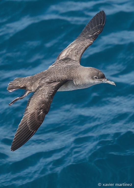 "<center>Puffinus mauretanicus <font size=""1"">Pardela Balear Balearic Shearwater  <i>clic en la foto para ampliar · click in the image to enlarge"