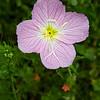 Pinklady or Evening Primrose