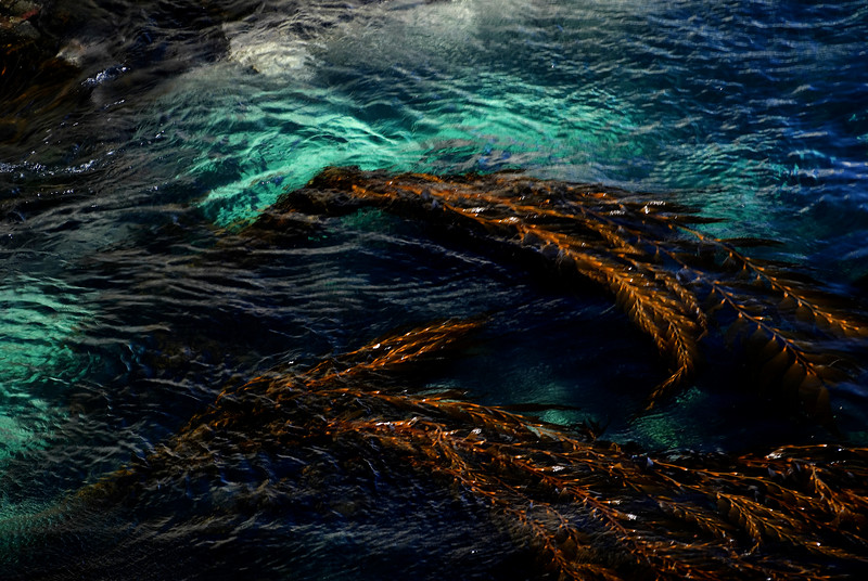 Macrocystis Kelp in Shallows