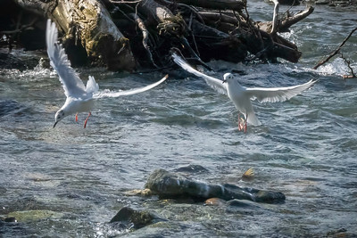 Seagulls over spawning salmon.