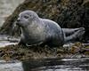 Harbor Seal (2).  Kennebec River.  Georgetown, Maine.