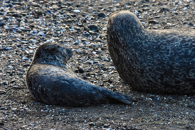 Seal_2015-04-13©Craig_Tooley__CT2046322