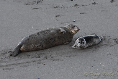 Seal_2015-04-17©Craig_Tooley__CT205344