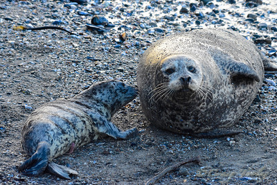Seal_2015-04-13©Craig_Tooley__CT2049352