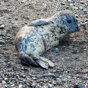 Seal_2015-04-13©Craig_Tooley__CT2048544