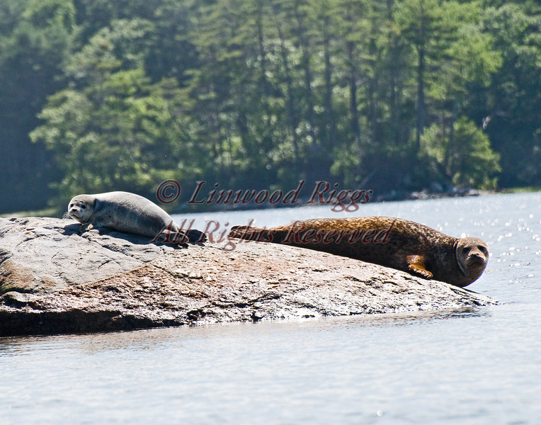 Seals lounge on rocks at Broad Cove, Maine